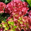 Hydrangea macrophylla Green Shadow (H)